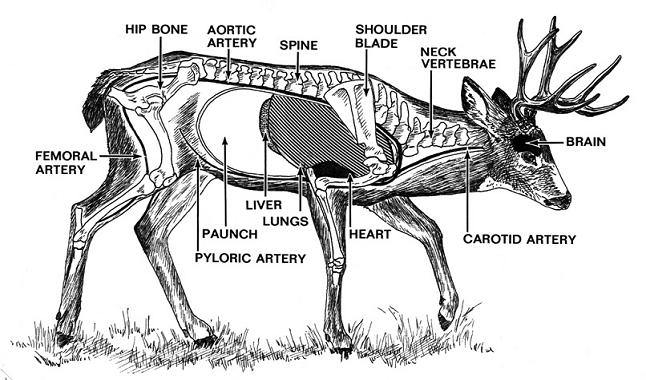 Moose Spine Diagram Electrical Work Wiring Diagram