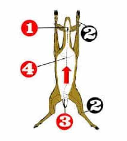 How to gut a deer step by step