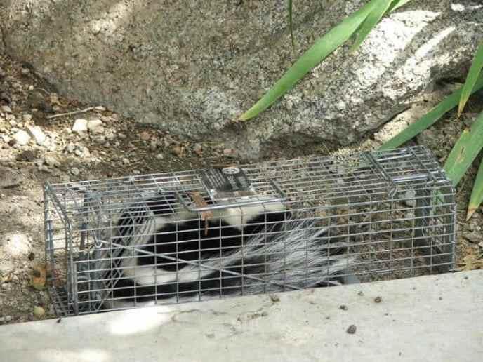 How to hunt skunks