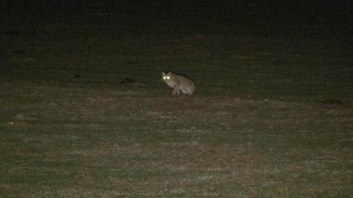 hunting-coyotes-at-night-3