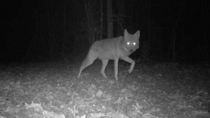 hunting coyotes at night