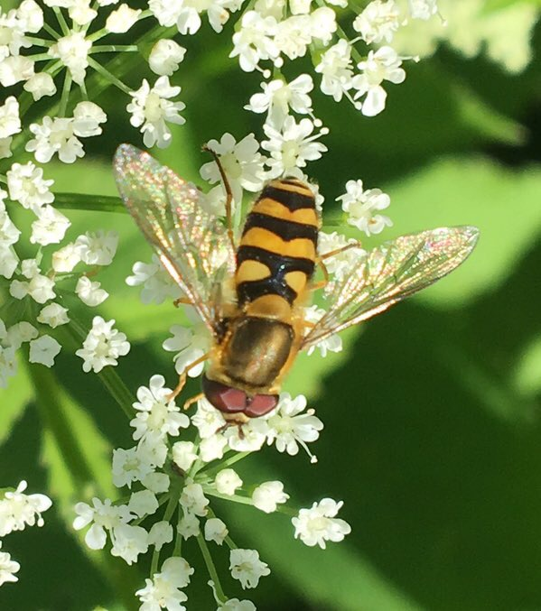 A hover fly feeding off ground elder flowers