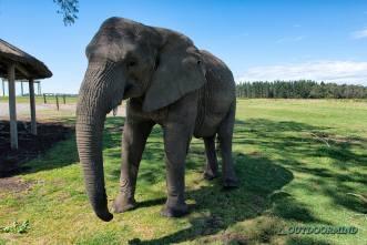 Elefant im Elephant Park in Knysna