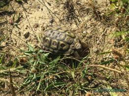Schildkröte auf dem Trail in Südafrika