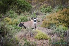 Springbock im Busch in Südafrika