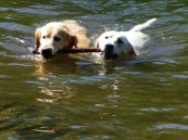 Emma sharing a retrieve with Belle. Do dogs need their tails for balance and swimming?