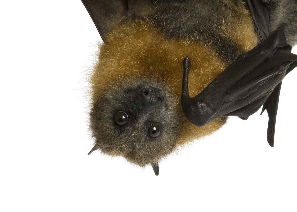 A fruit bat up close