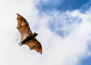 A flying fruit bat