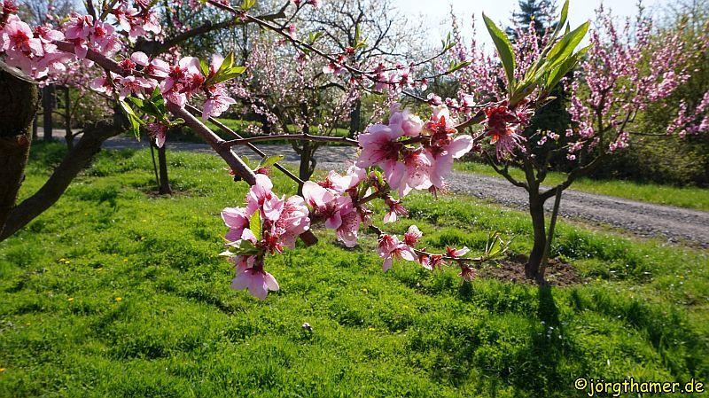 Rheinsteig Kirschblüte