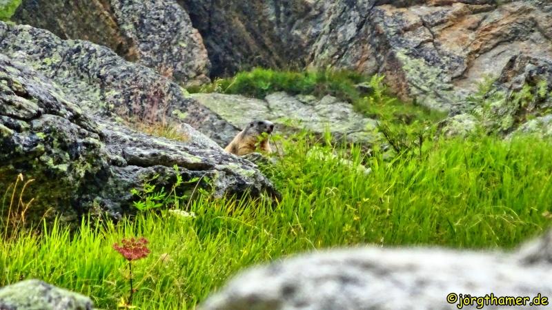 Murmeltier Albula-Alpen