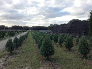 Ergle Chrismas Tree Farm in florida
