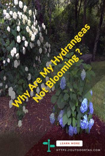 Why Are My Hydrangeas Not Blooming?