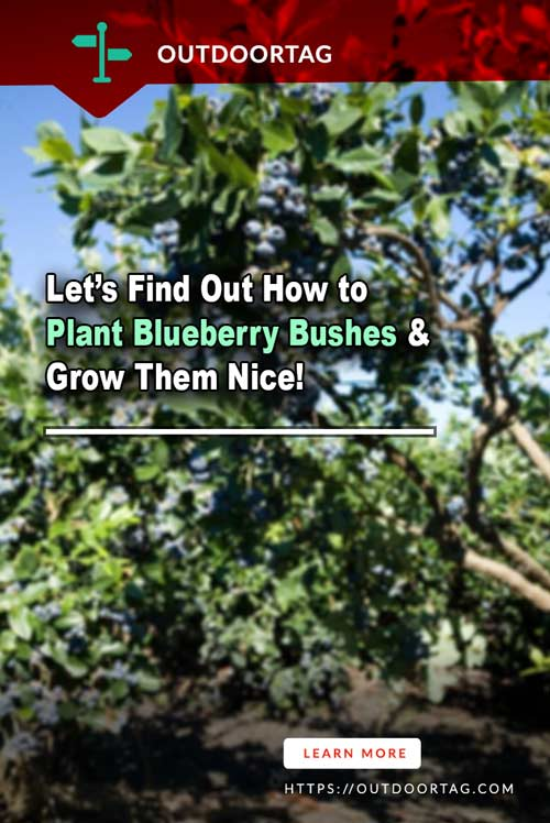 How to Plant Blueberry Bushes & Grow Them Nice