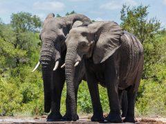 Noah's Ark, Elephants, Conservation