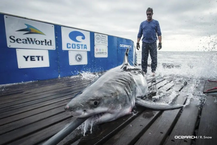 The Outer Banks Voice Finding Cabot Shark Wasn T In Albemarle Sound After All