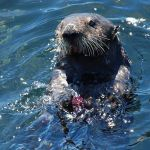 Sea otter death….and life!