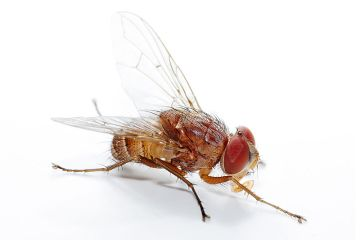 Flies that wiggle in dead bodies can give forensic scientists clues to pinpoint time of death. Photo courtesy: Fir0002/Flagstaffotos