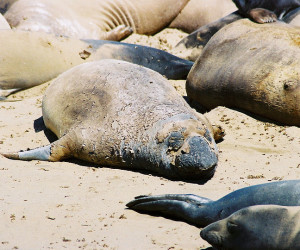 It's not pretty. An elephant seal molts at Ano Nuevo State Park. Photo by Wikimedia user MonicaSP54.