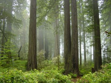 Redwood_National_Park,_fog_in_the_forest