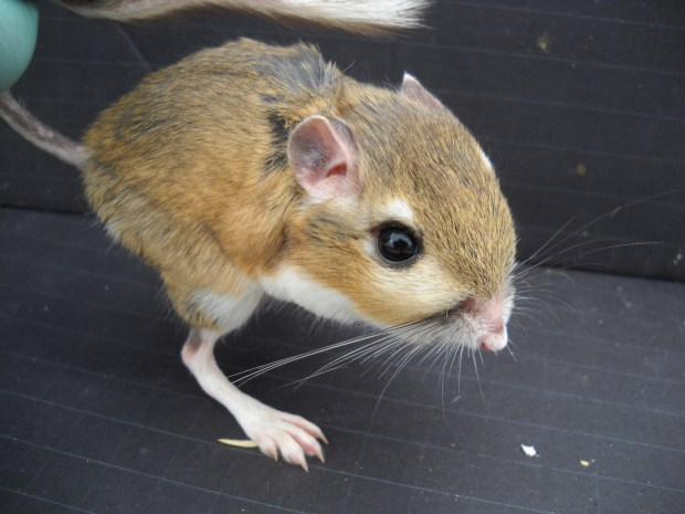 It's called a kangaroo rat because you just want to cuddle it up and carry it around in your pocket all day. I mean, I think that's why. Photo credit: Chris Kilonzo