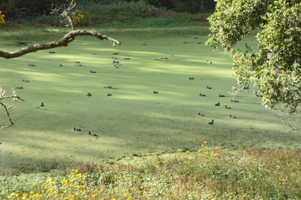 Ducks feeding in Pinto Lake/photo by Patricia Waldron