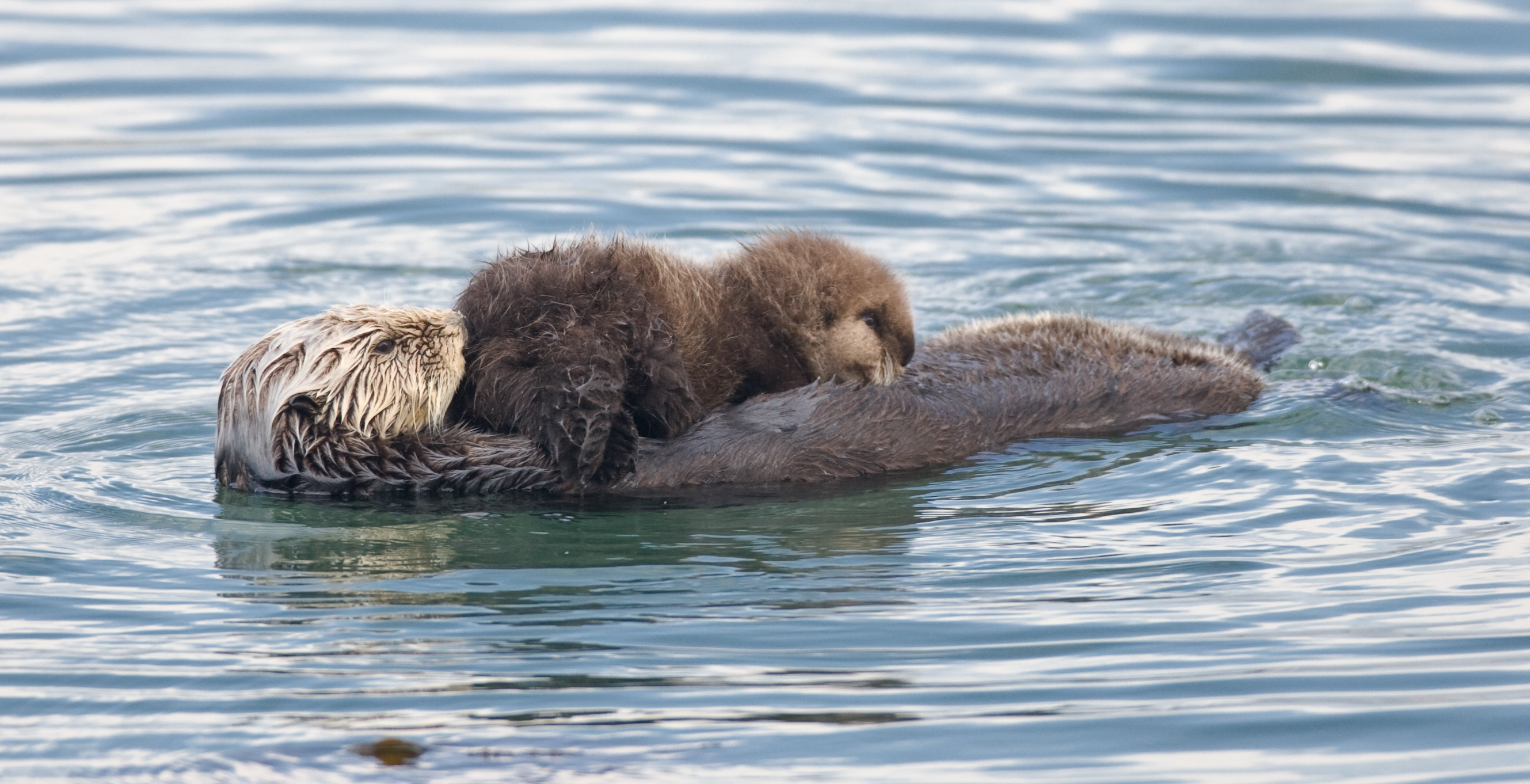 The Dark Side Of California Sea Otters Out Of The Fog