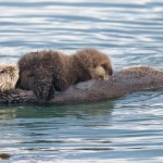 The Dark Side of California Sea Otters