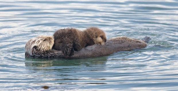 sea-otter-mom-and-pup