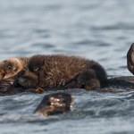 Tough life for otter moms