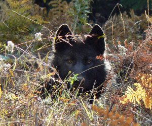 Oregon wolf OR-11, image courtesy of Oregon Department of Fish and Wildlife