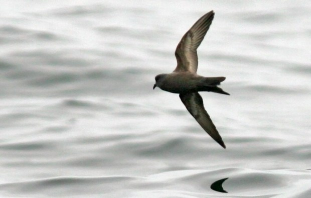 Ashy storm petrels spend most of their time at sea. Unless they're incubating an egg, adults typically visit their nesting sites for just a few hours in the middle of the night, making them a challenging species to study. Photograph by U.S. Fish & Wildlife Service/Jeff Poklen via Flickr.
