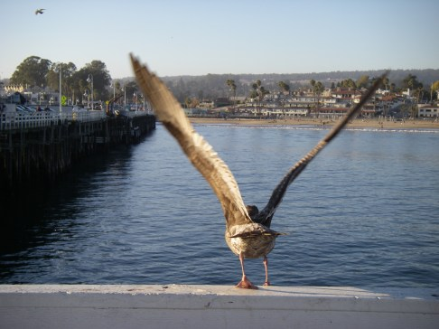 Gulls and other birds are a common sight on the Santa Cruz wharf. Photograph by Emily Benson.