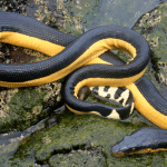 The Yellow-Bellied Sea Snake: Pernicious Predator or Sissy Serpent?