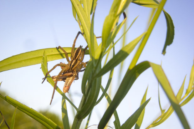 A wolf spider eats a grasshopper on a grass stalk hedgerow, just about five feet away from a row of tomatoes. Credit: Marshall Hinsley. Used with permission.