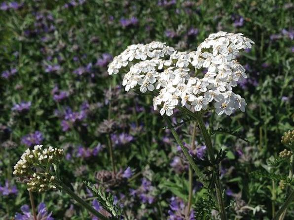 Queen Anne's Lace and Purple
