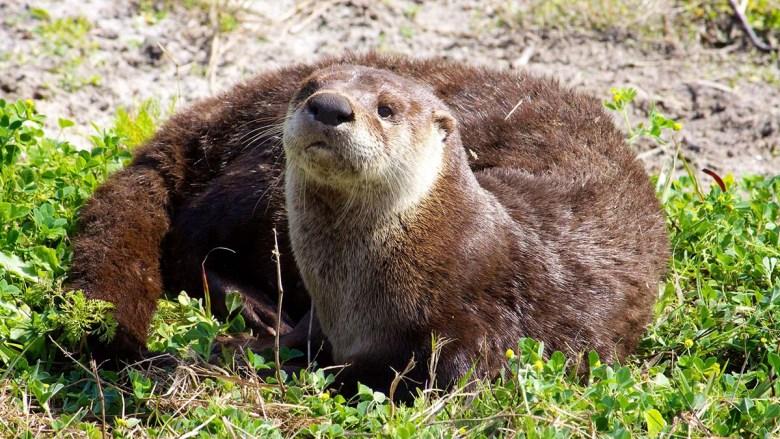 A river otter.