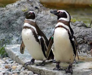 Canadian gay penguins split