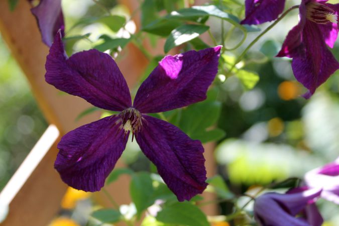 Clematis – Flower Friday