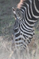 Artistic Zebra #1