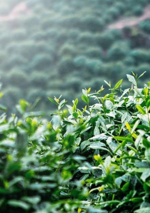 foglie-te-verde-piantagioni-cina-hangzhou