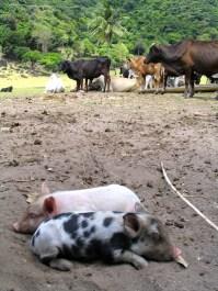 Dalmatian Piglet in Pamuktan