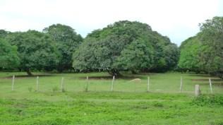 Guimaras Mango Tree