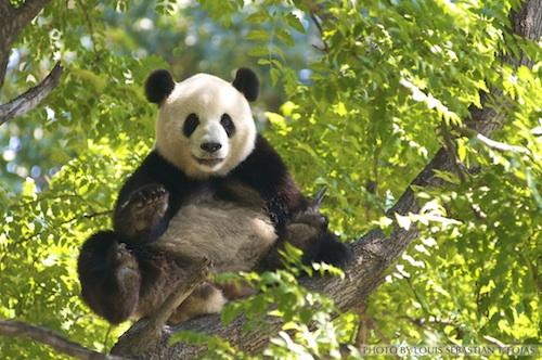 Panda in Guangzhou