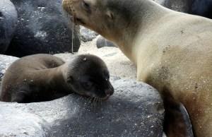Sea Lions in Galapagos Island