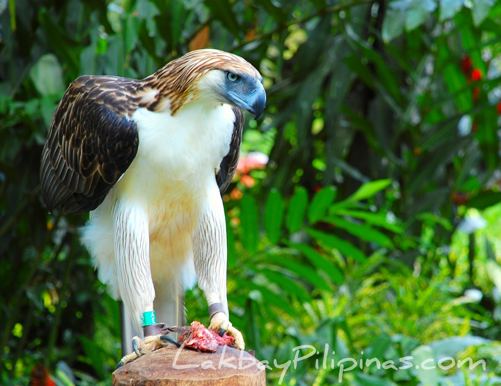 Davao City : Home of the World\'s largest Eagle - Out of Town Blog