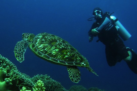turtles in apo island