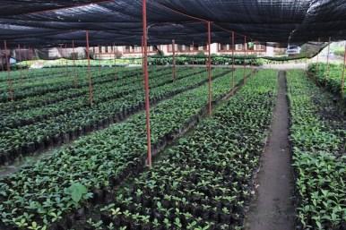 Nescafe Davao Day1- Coffee Nursery