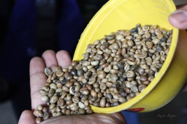 Nescafe Davao Day2- Sampled beans from a truckload delivery.