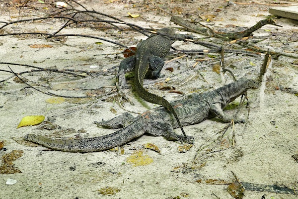 Monitor Lizards in Manukan Island