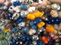 Assemblage of Christmas Tree Worms (Spirobranchus spp.)